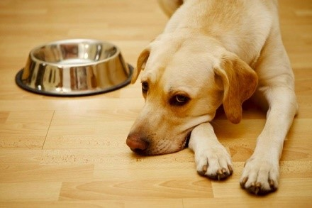 Аденовирус у собак - заболевание распространенное, и поражающее в основном тех псов, чьи хозяева не задумались о том, чтобы провести вакцинацию питомца