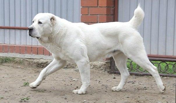 Алабаи непокорные псы, иногда им удается сбежать от хозяев