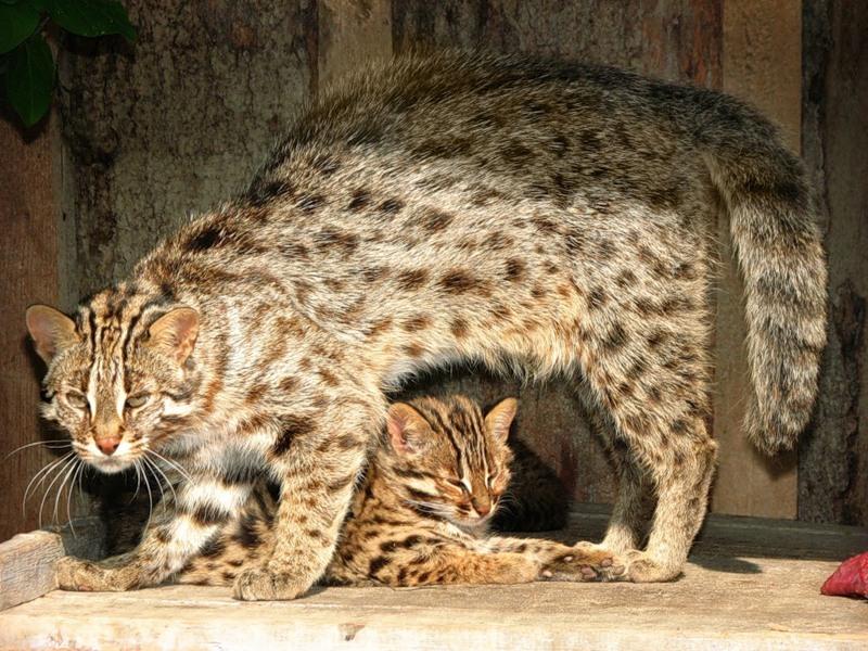 Амурская кошка охраняет своих котят