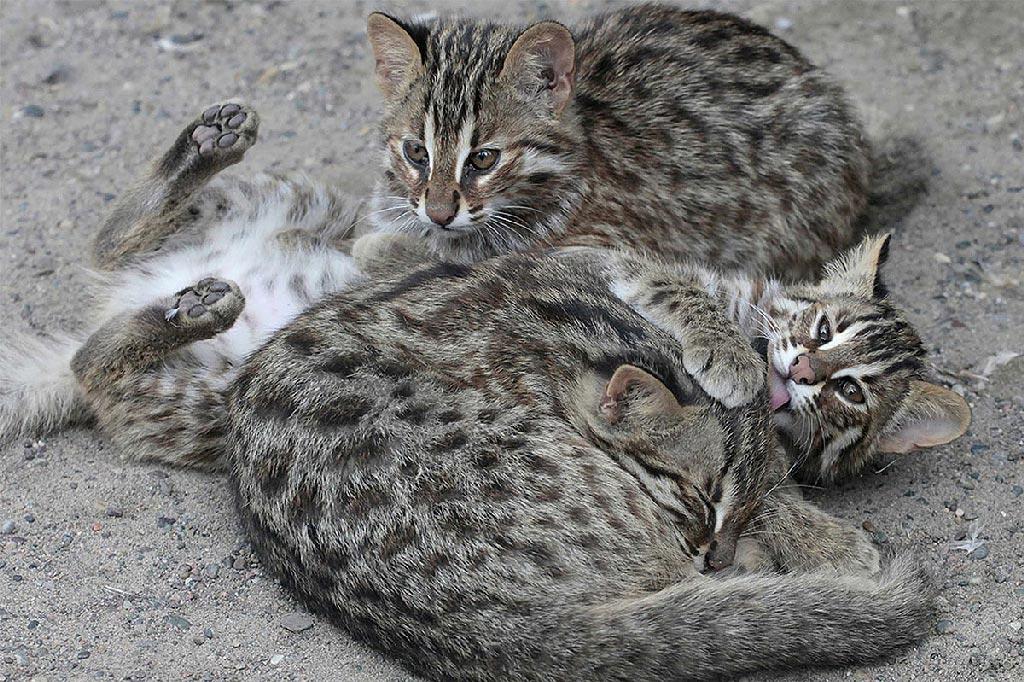Амурские коты образуют группы только в брачный период