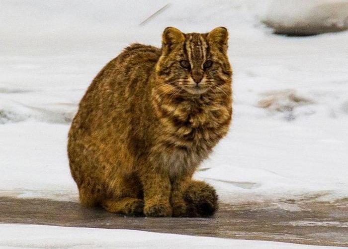 Амурский кот в Приморском крае