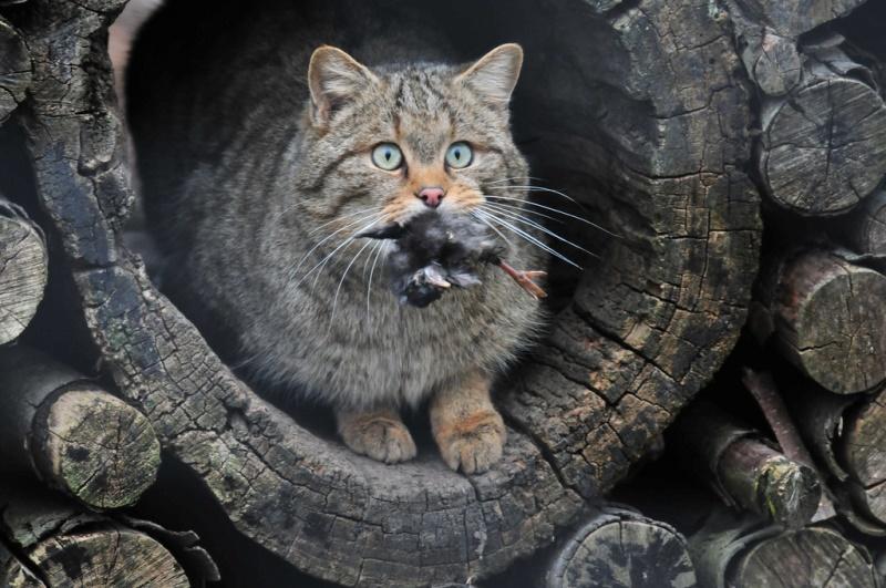 Амурский кот с добычей