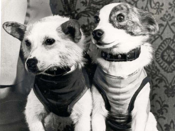 Белка и Стрелка в течение нескольких месяцев носили одежду и расположенные на теле датчики