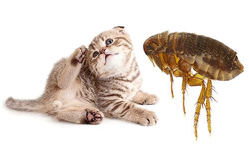 Переносят Эперитрозоон блохи и другие мелкие насекомые, заражающие животных через укусы