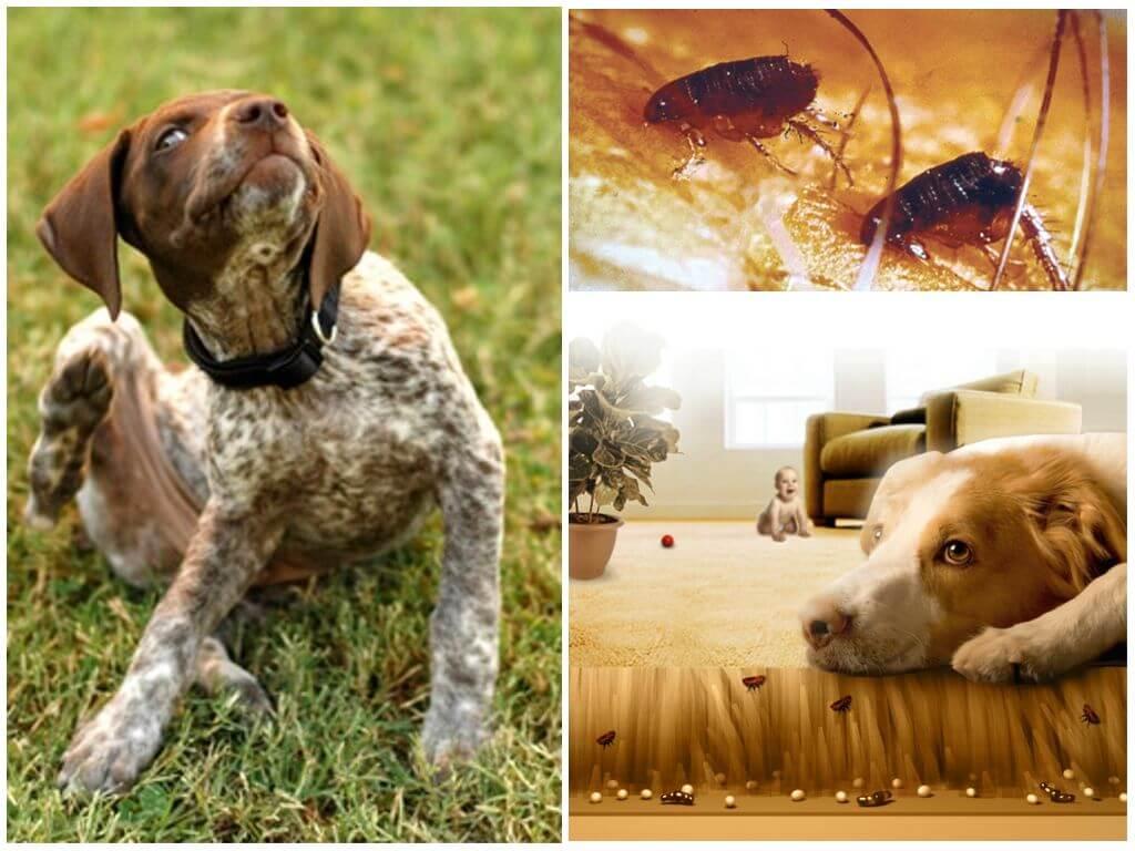 Блохи могут поселиться даже на чистой, ухоженной собаке домашнего проживания