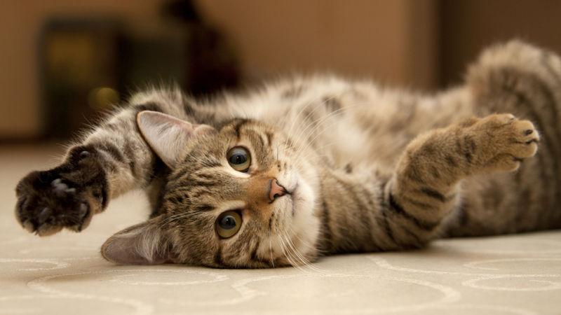Дерматит у кошек виды симптомы и лечение