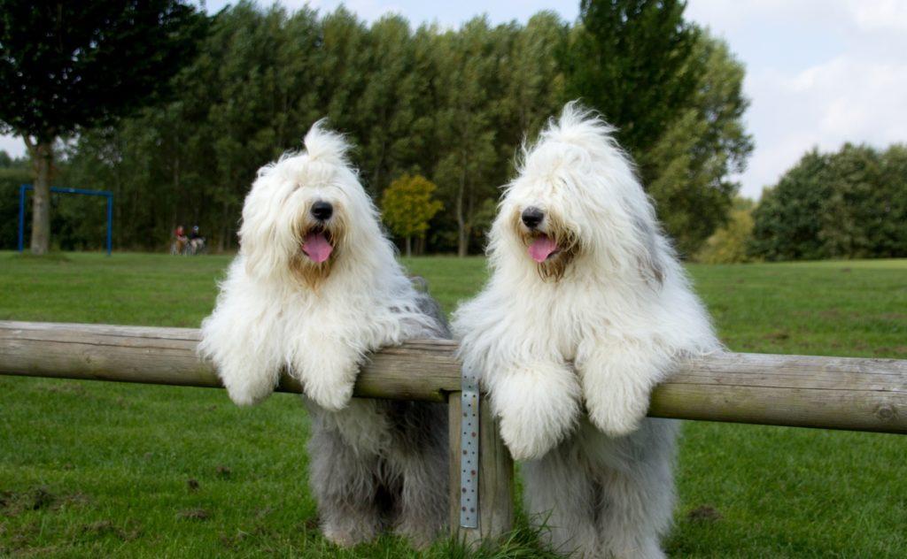 Бобтейлы дружелюбные и компанейские собаки