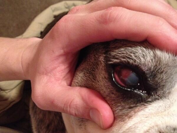 Боксеры подвержены болезням пищеварения и глаз