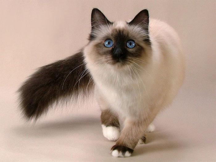 Взрослая особь кошки породы бирма