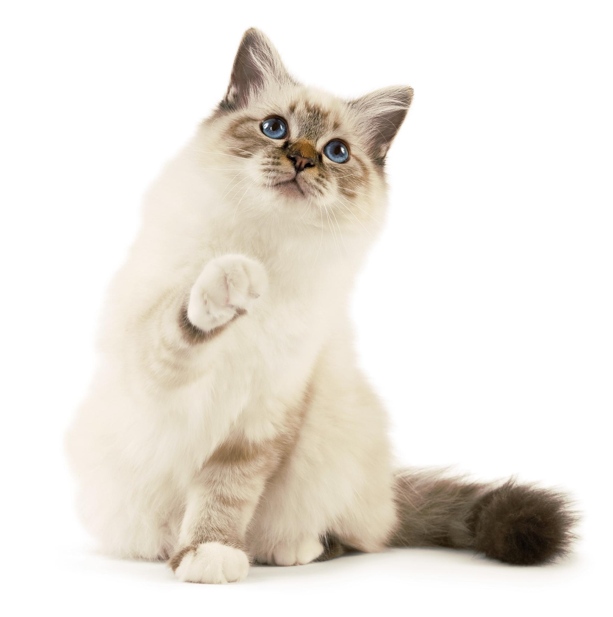 Владельцы питомников уверяют, что котёнок перенимает родительские черты характера