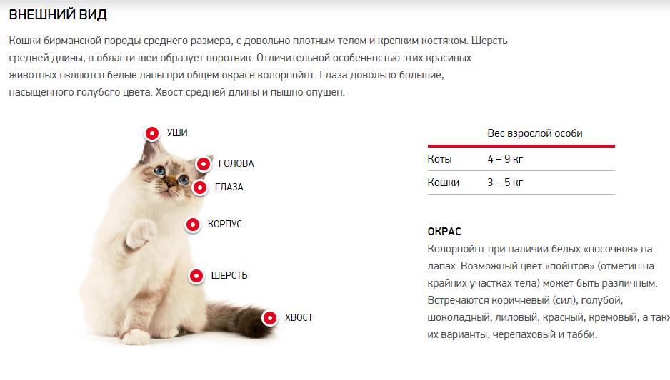 Внешний вид бирманской породы кошек