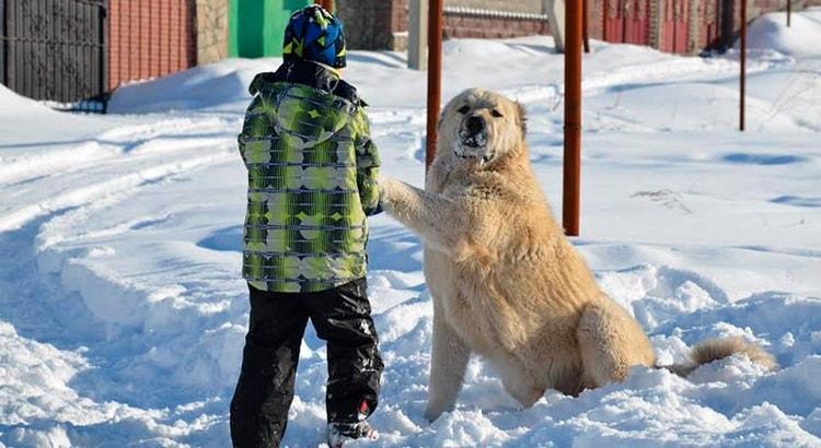 Волкодавы легко идут на контакт с детьми