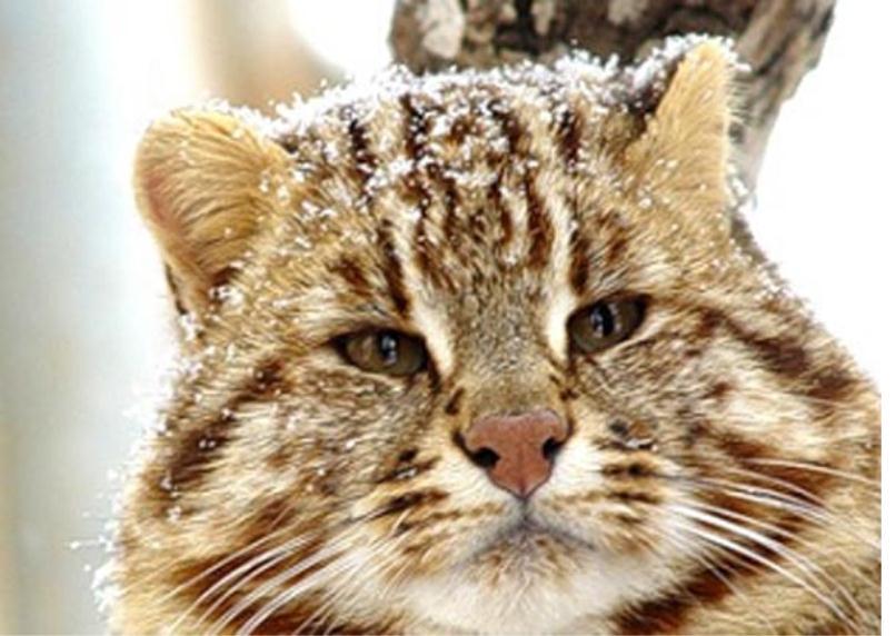 Вопреки густому теплому меху снег - далеко не лучший друг амурского кота
