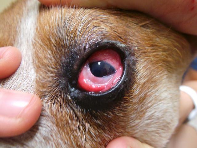 Воспаление слизистой оболочки конъюнктивы встречается у собак чаще других заболеваний