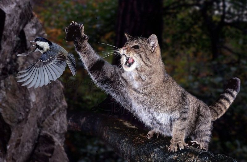 Во время охоты дикие коты не допускают лишних движений