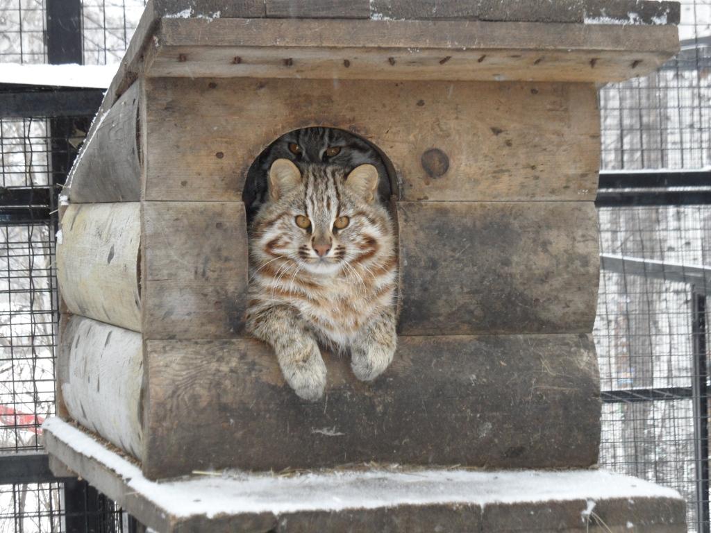 В построенном на территории вольера укрытии леопардовый кот обретет комфорт и спокойствие