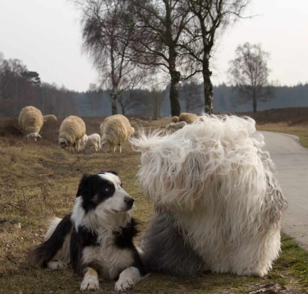 В прежние времена бобтейлы использовались на пастбищах и специализировались на охране овец