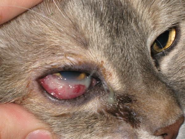 Гнойные выделения при блефарите у кошек