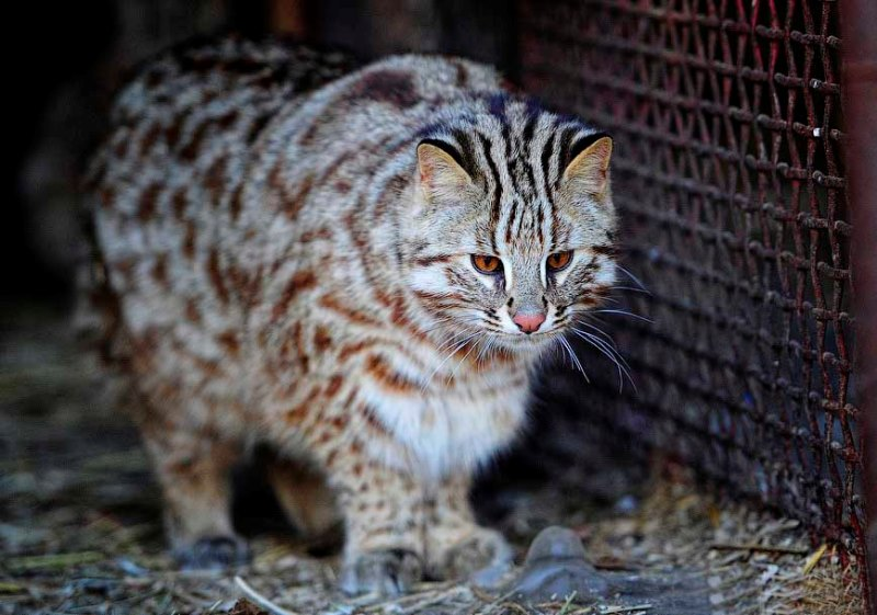 Говорят, что в зоопарках амурские коты не живут, а просто долго умирают
