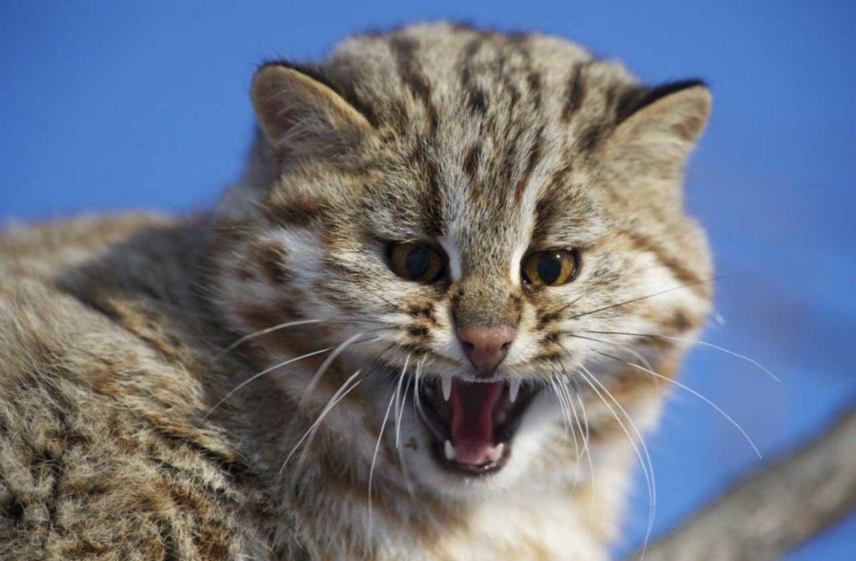 Дальневосточный кот всегда будет видеть в человеке опасность