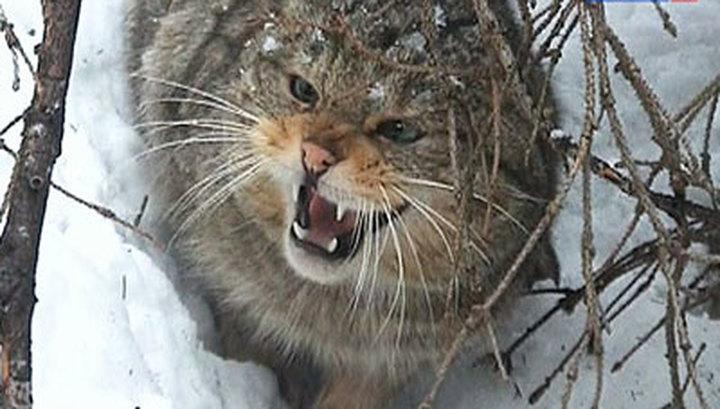 Дальневосточный кот никогда не бывает рад гостям