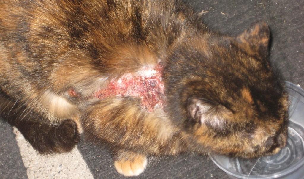 Дерматит у кошки - это недуг, который проявляется как обычная аллергическая реакция