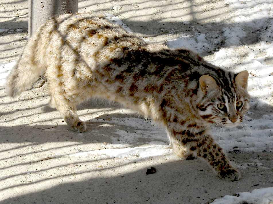 Дикие коты по возможности избегают солнечных лучей и в неволе