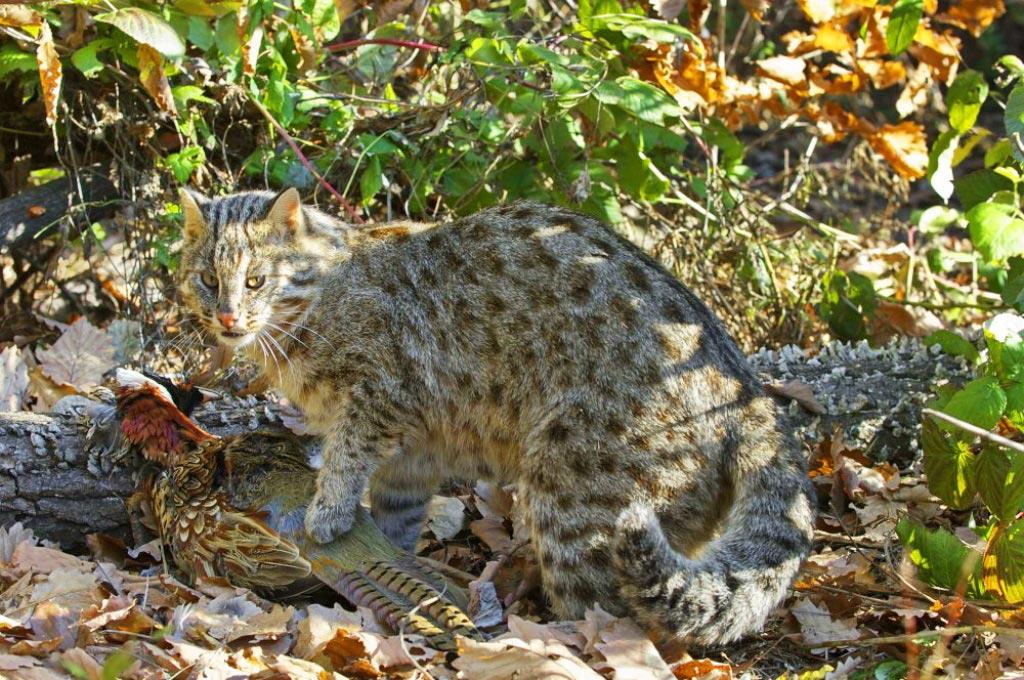 Дикие коты по возможности избегают охоты при солнечный лучах