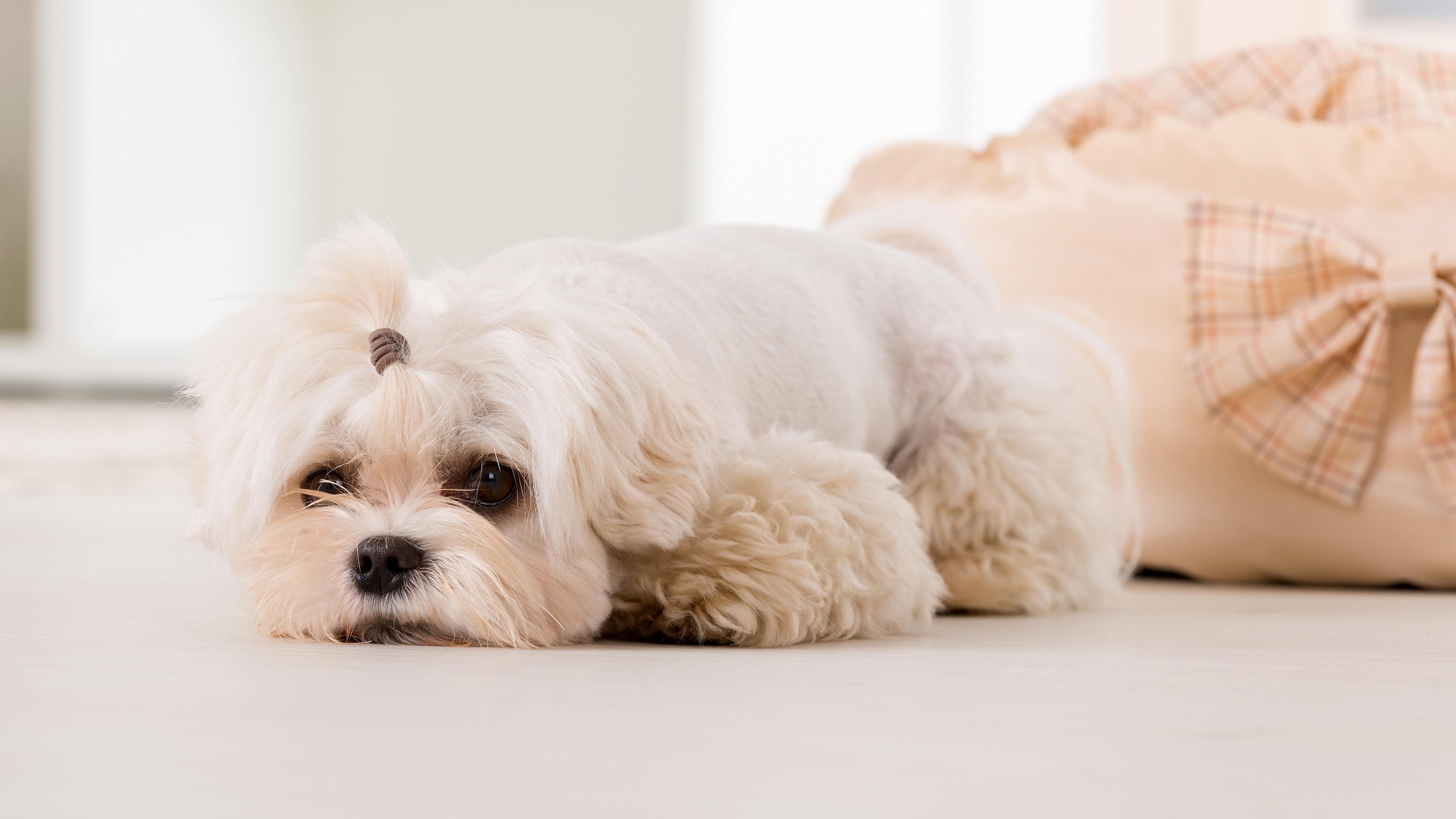 Длинные волосы собаки требуют тщательного ухода