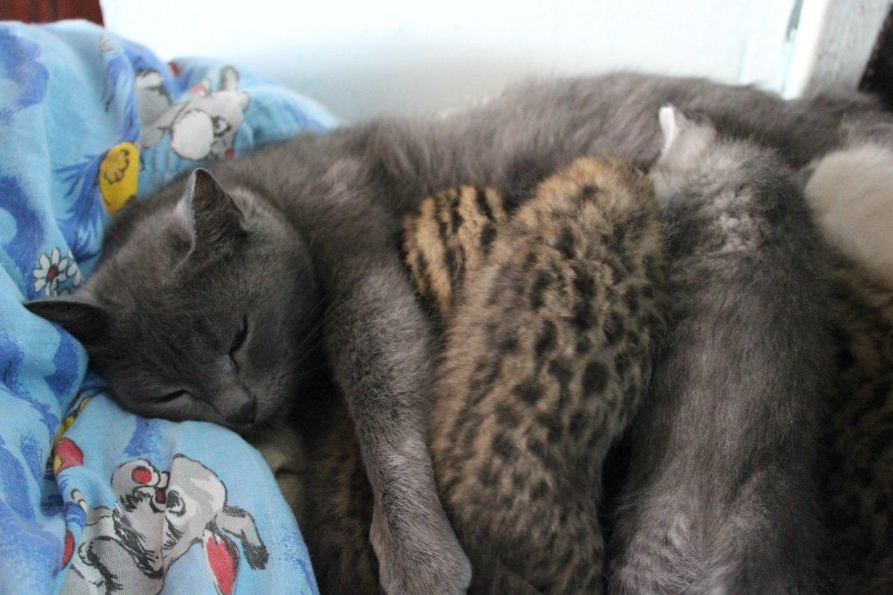 Домашняя кошка проявляет заботу к амурским котятам наравне со своими