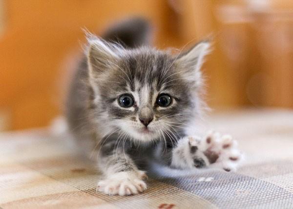 Жизнь здорового котёнка делится на три части: он много ест, много спит и много играет