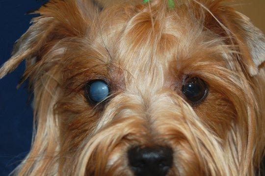 Катаракта правого глаза у собаки