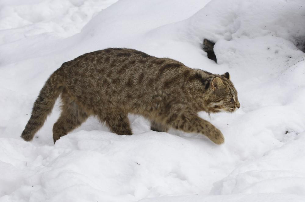 Лапы амурского кота слишком коротки для глубоких сугробов