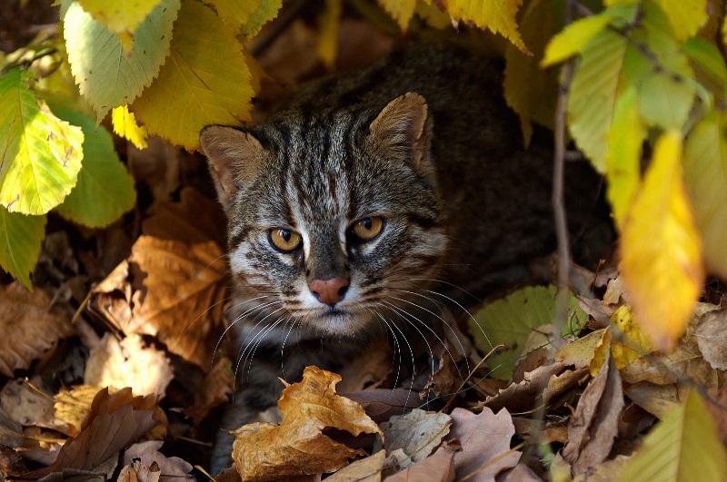 Леопардовый кот знает толк в просчитывании ходов жертвы наперед
