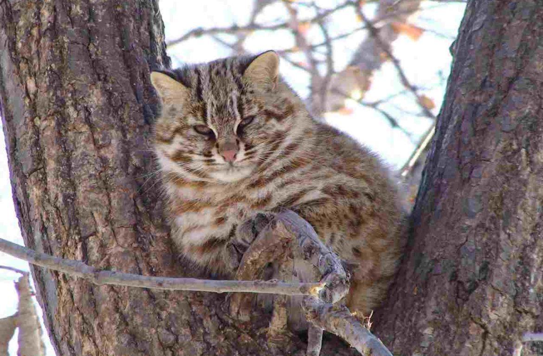 Ловкое лазание по деревьям позволяет дикому коту избежать многих столкновений с хищниками