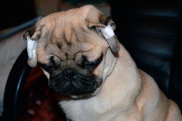 Мопс с заклеенными ушами