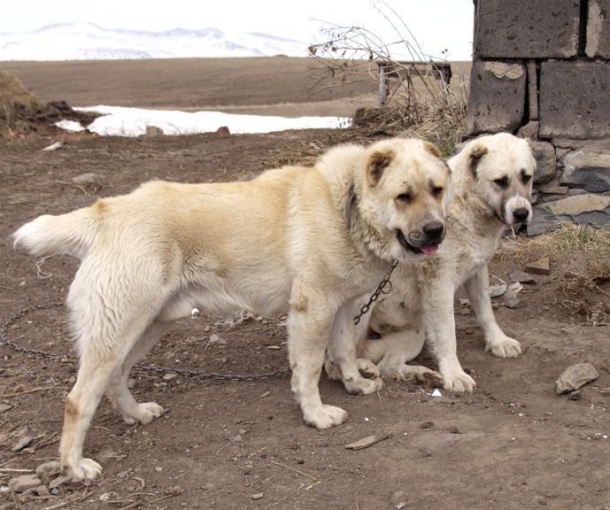 Наглядный пример того, как не надо сажать пса на цепь