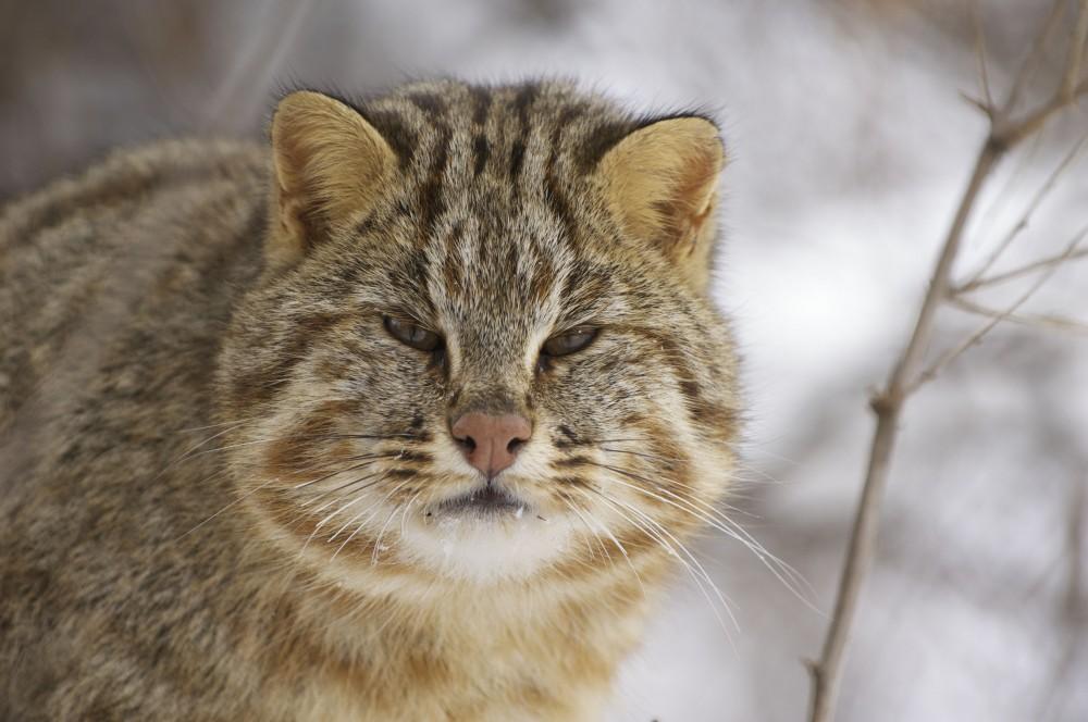 Несбалансированное кормление амурского кота может привести к излижней полноте и болезням