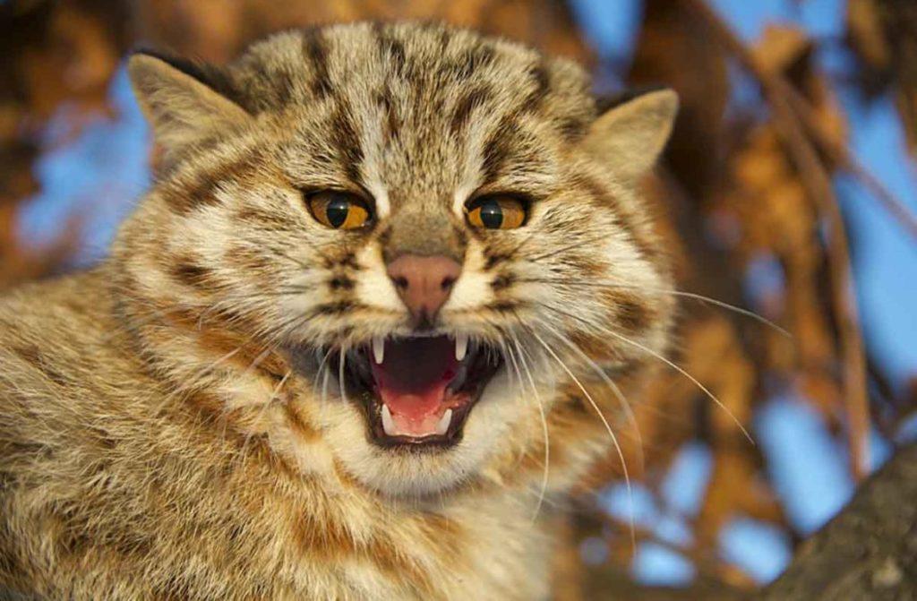 Острые клыки позволяют диким котам справится даже с самым жестким мясом