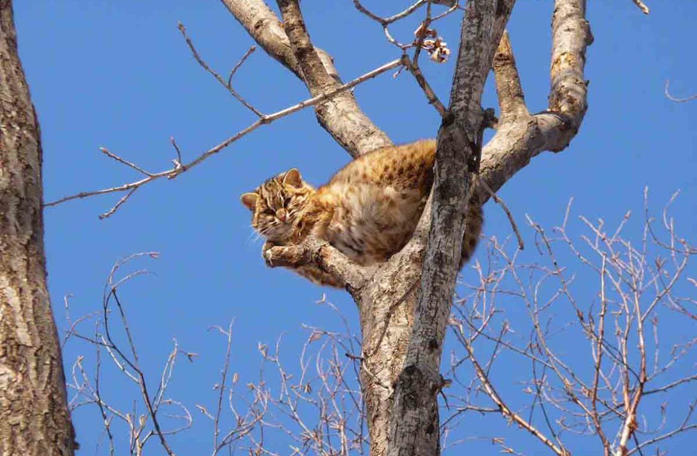 От лесного кота не скрыться ни на земле, ни на дереве