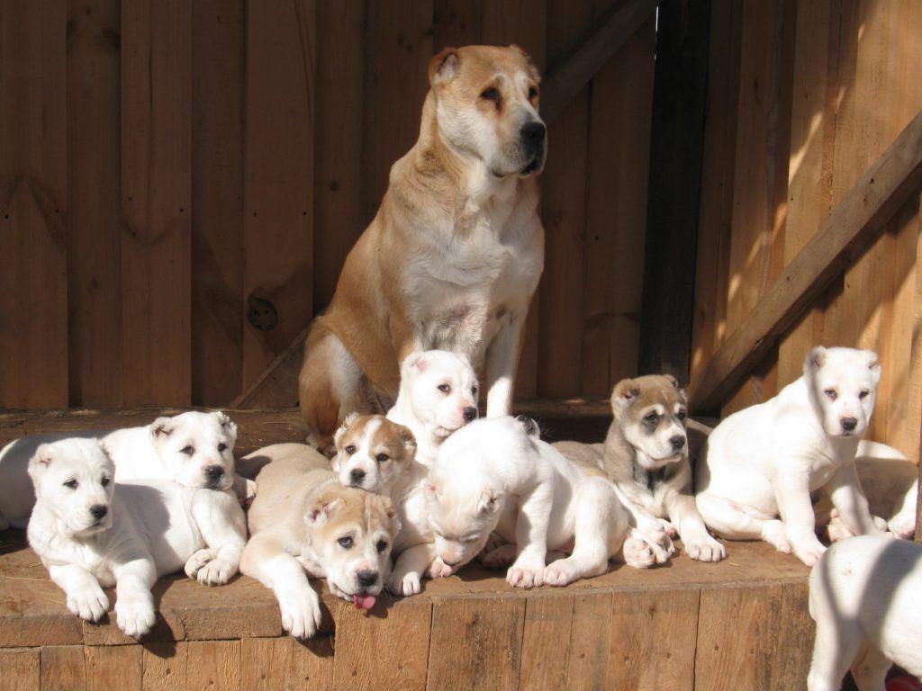 Покупка щенка алабая без документов чревата непредсказуемыми последствиями