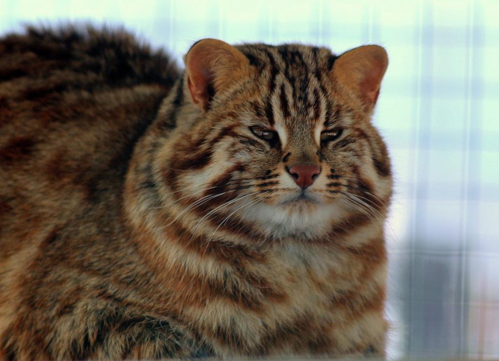 Пословица тише едешь - дальше будешь может считаться девизом дальневосточного дикого кота