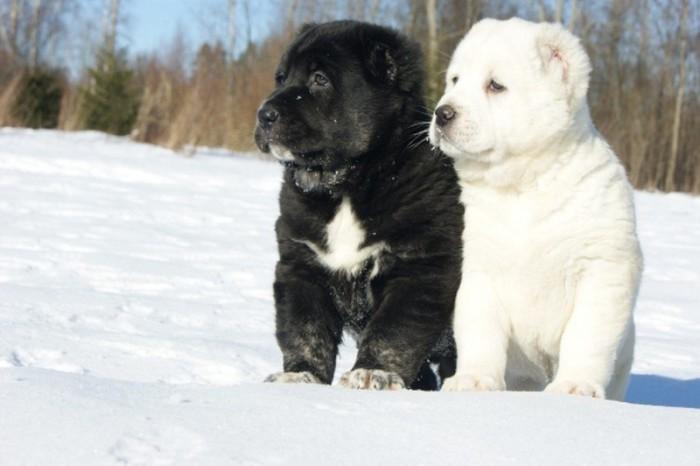При выборе щенка советуется доверять только профессиональным заводчикам