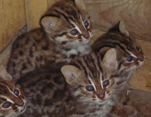 При покупке амурского кота велика вероятность столкнуться с недобросовестным продавцом