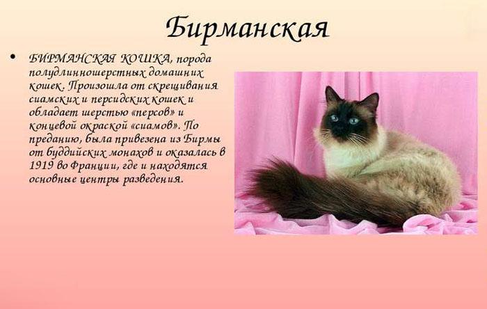 Происхождение бирманской породы кошек