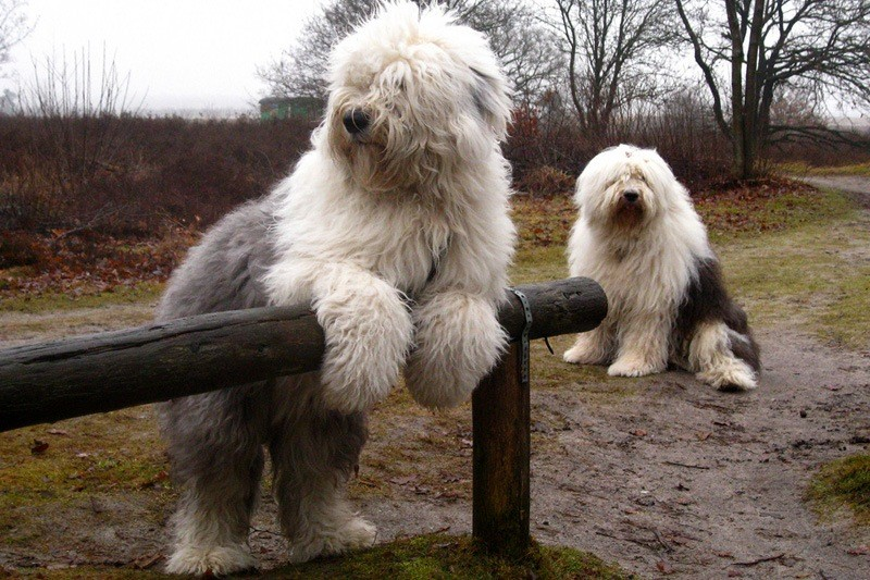 Собака породы бобтейл фото