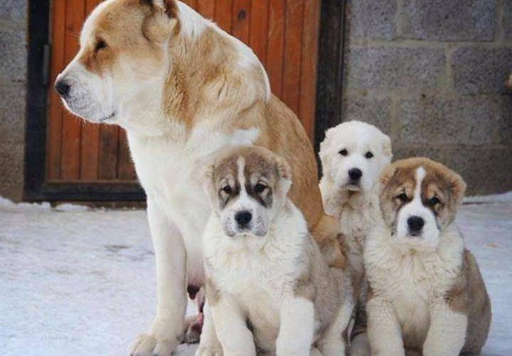 Самка алабая со своими щенятами