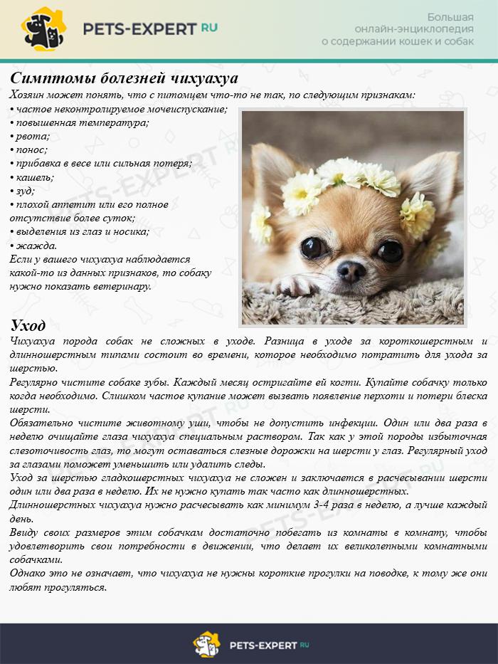 Симптомы болезней чихуахуа и уход за собаками