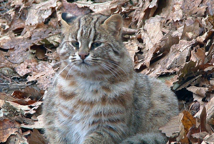 Слияние с фоном - главная функция причудливого окраса дикого кота