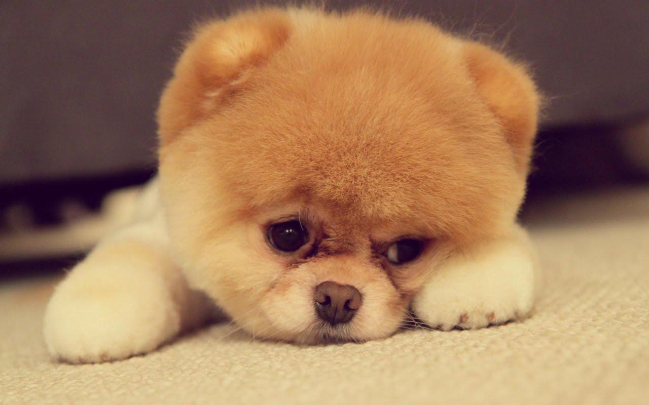 Собака постоянно находится в лежачем положении? Возможно у нее отравление